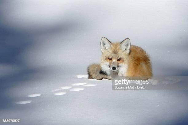 Fox On Snow Covered Field