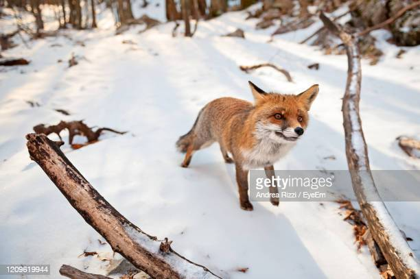 fox on snow covered land - andrea rizzi stock pictures, royalty-free photos & images