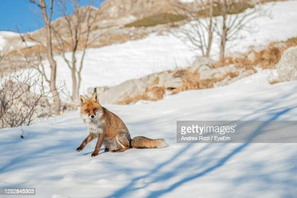 fox on snow covered land - andrea rizzi stockfoto's en -beelden