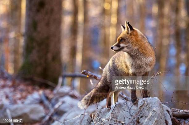 fox on the ground - andrea rizzi stock pictures, royalty-free photos & images