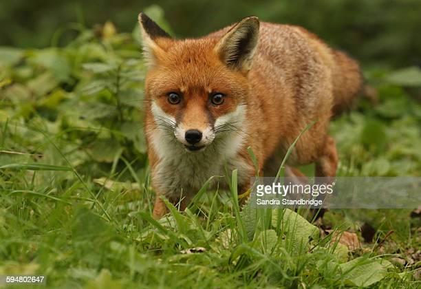 A fox on the run