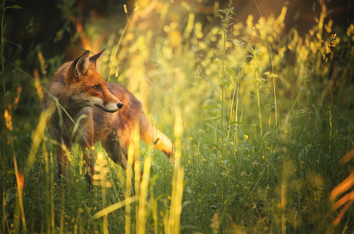 Fox on the summer forest 476969232