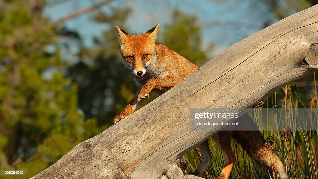 fox on the trunk : Stock Photo