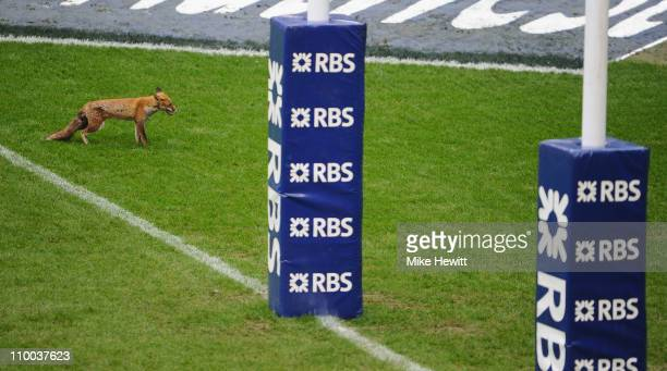 A fox onto the pitch prior to the RBS Six Nations match between England and Scotland at Twickenham Stadium on March 13 2011 in London England