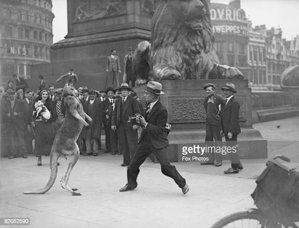 Fox Photos photographer Fred Morley takes on Aussie the boxing kangaroo in London's Trafalgar Square 31st August 1931