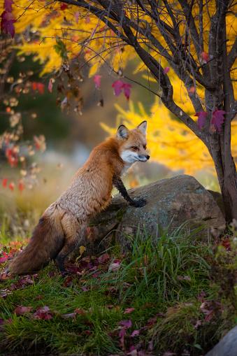 Fox 1010625000