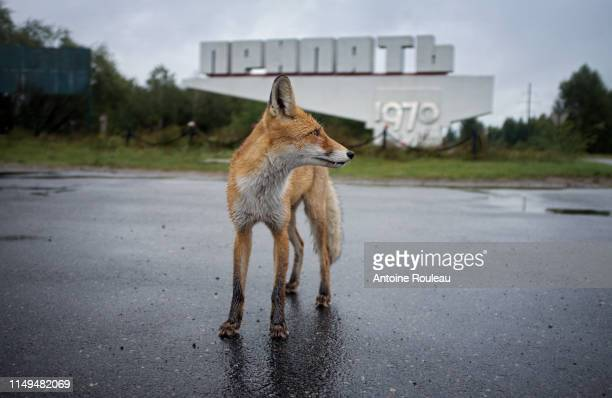 fox - chernobyl stock pictures, royalty-free photos & images