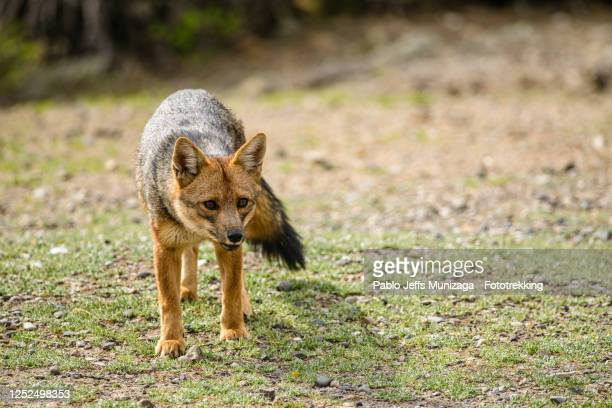 fox - carnívoros stock pictures, royalty-free photos & images