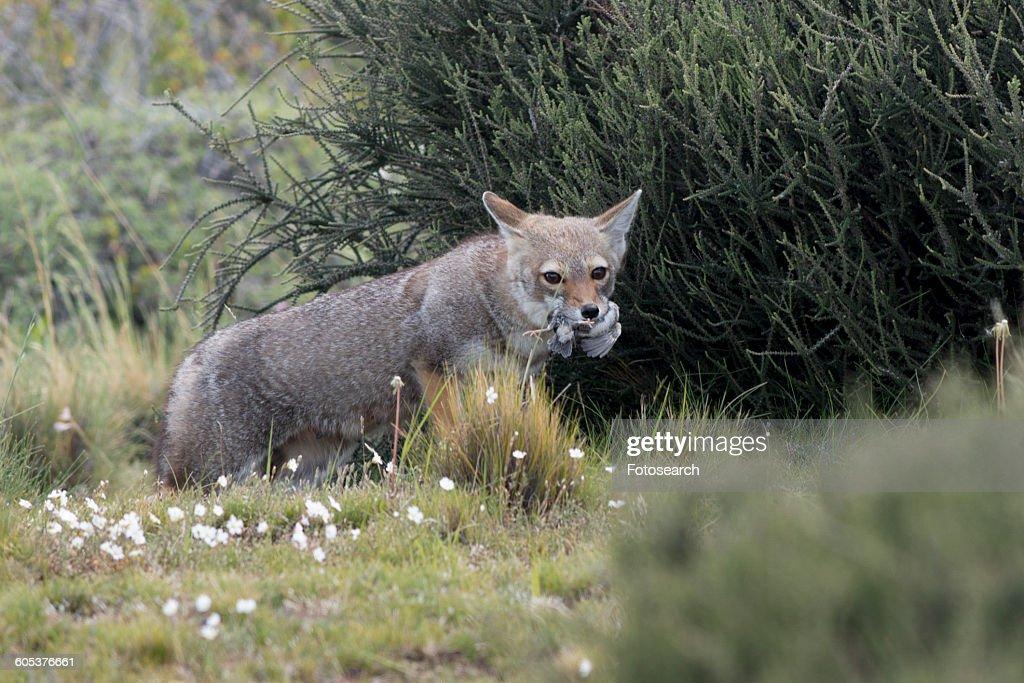 Fox : Stock Photo