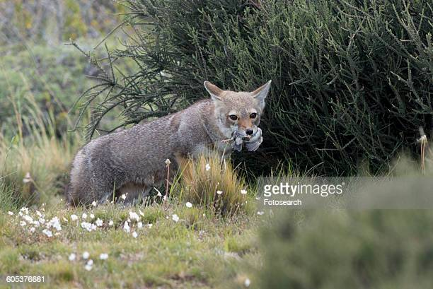 fox - gray fox stock photos and pictures