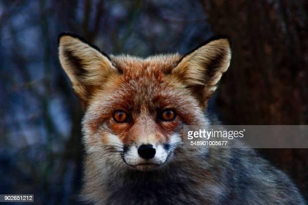 fox - fuchspfote stock-fotos und bilder