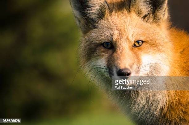 a fox. - fox stock pictures, royalty-free photos & images