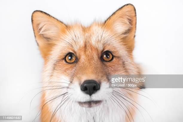 8 569 Fox Head Photos And Premium High Res Pictures Getty Images