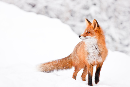 Fox portrait 154945983