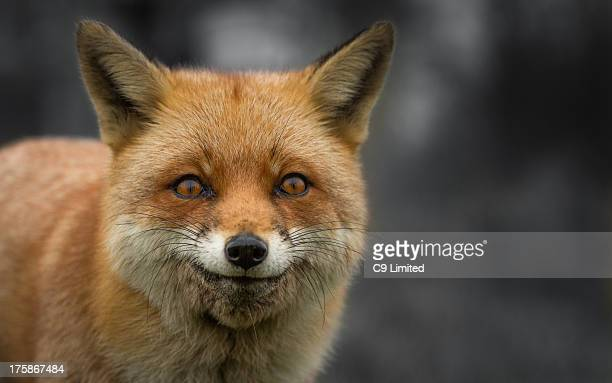 CONTENT] A fox produces a wry smile having just eaten a piece of chicken
