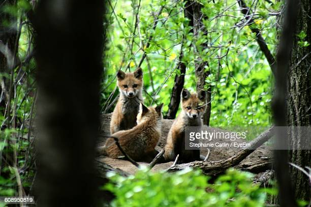Fox Pups Sitting On Rock In Forest