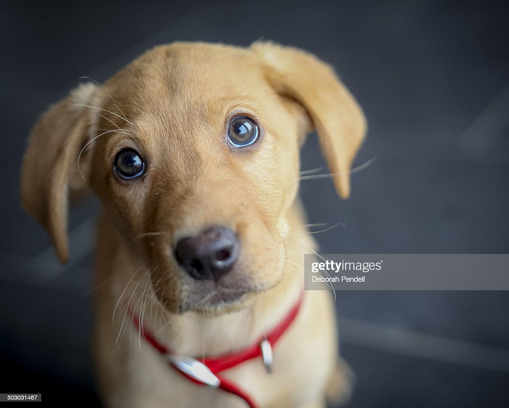 Fox Red Labrador Puppy Looking At Camera High Res Stock Photo Getty Images