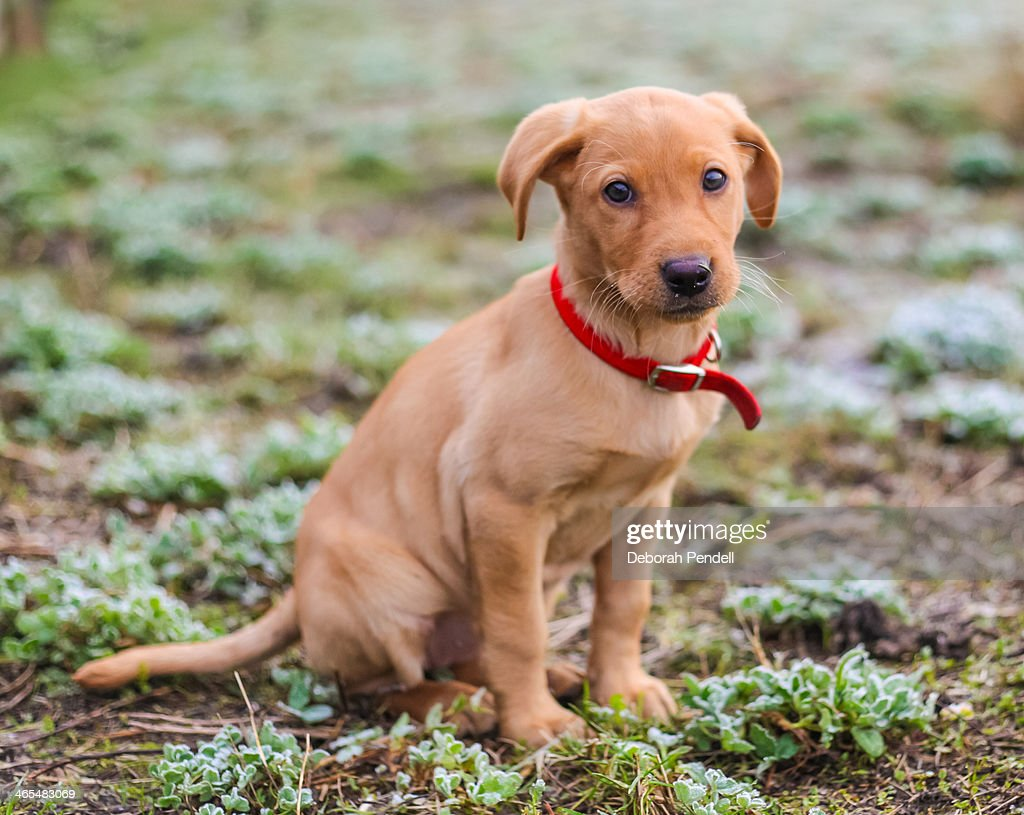 Fox Red Labrador Puppy High Res Stock Photo Getty Images