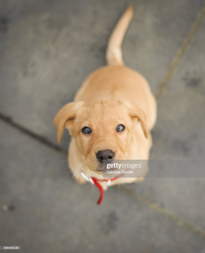 Fox Red Labrador Puppy Foto De Stock Getty Images
