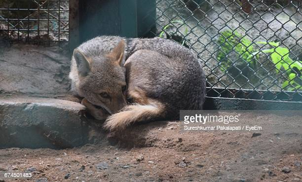 Fox Resting At Zoo