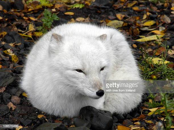 Fox resting in it's white winter colors