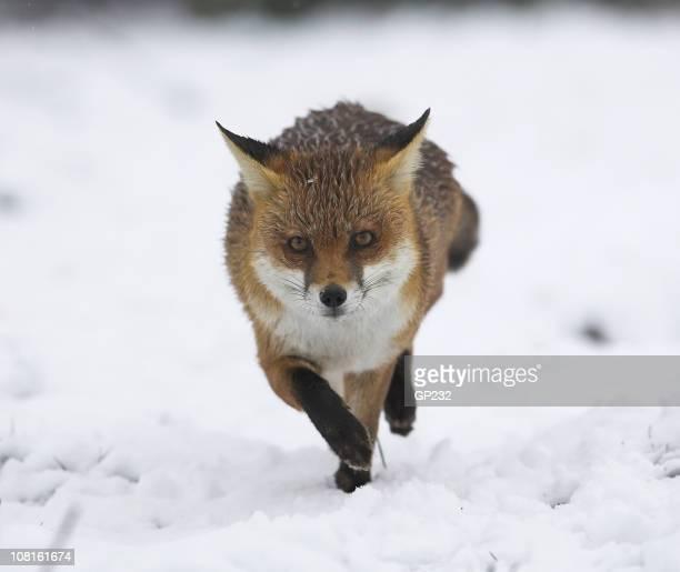Fox running in the snow