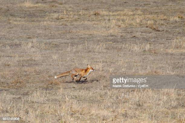 fox running on field - marek stefunko stock photos and pictures