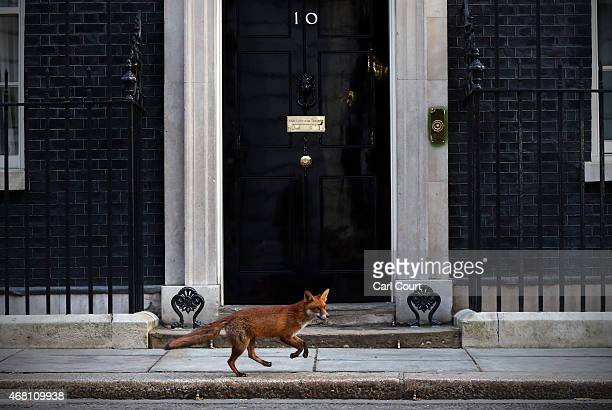 Fox runs in front of 10 Downing Street on March 30, 2015 in London, England. Campaigning in what is predicted to be Britain's closest national...