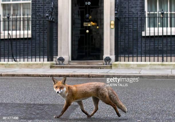 A fox runs past the door of 10 Downing Street on Janurary 13 2015 AFP PHOTO / JUSTIN TALLIS