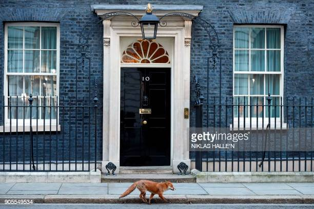 Fox runs past the entrance to 10 Downing street in central London on January 16, 2018. / AFP PHOTO / Niklas HALLE'N