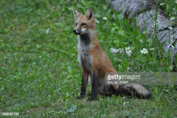 Fox sitting in grass