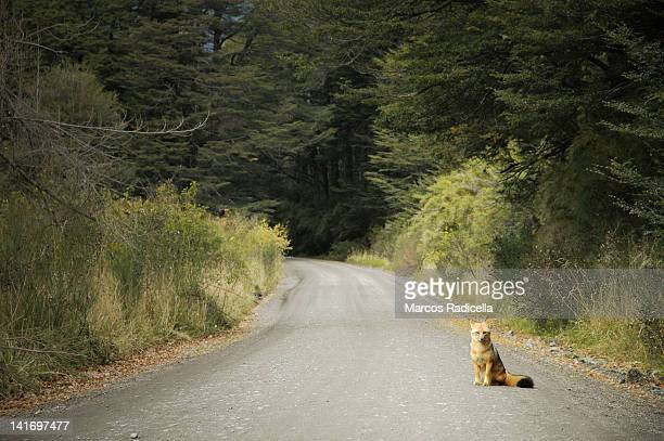 fox sitting on road - radicella stock photos and pictures