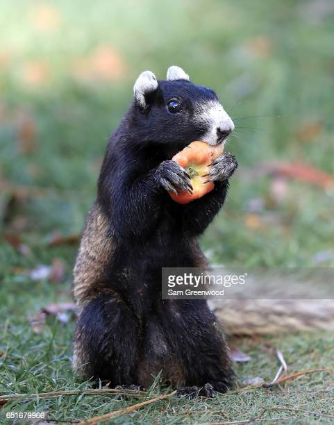 A fox squirrel eats an apple during the second round of the Valspar Championship at Innisbrook Resort Copperhead Course on March 10 2017 in Palm...