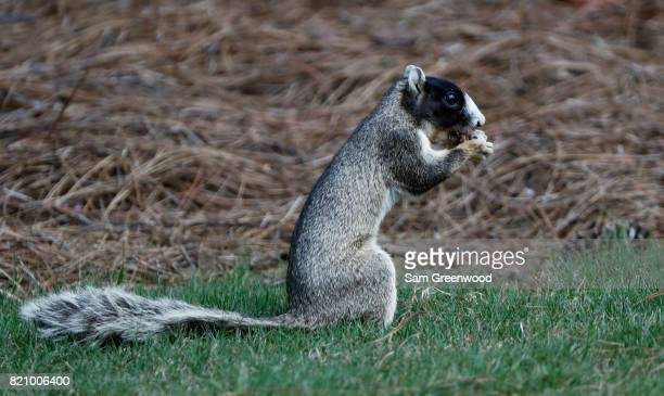 Fox squirrel eats during the third round of the Barbasol Championship at the Robert Trent Jones Golf Trail at Grand National on July 22 2017 in...