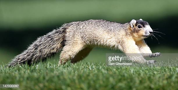 Fox Squirrel in action during the first round of the Transitions Championship at Innisbrook Resort and Golf Club on March 15 2012 in Palm Harbor...