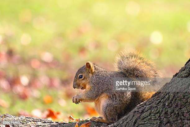Fox Squirrel in Autumn