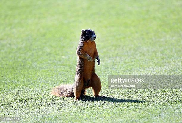 Fox Squirrel is seen near the 17th hole during the first round of the CME Group Tour Championship at Tiburon Golf Club on November 17 2016 in Naples...