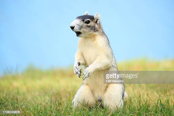 A fox squirrel looks on during the final round of the Valspar Championship on the Copperhead course at Innisbrook Golf Resort on March 24 2019 in...