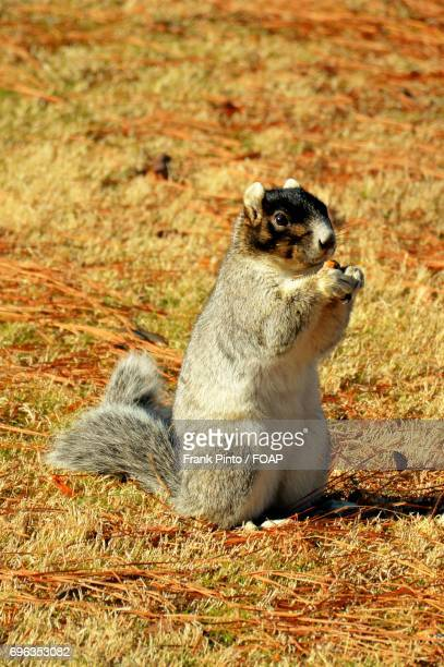 Fox squirrel on dry grass