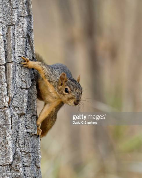 fox squirrel on side of tree - colorado stock pictures, royalty-free photos & images