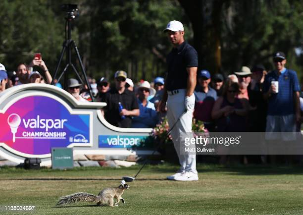 A fox squirrel runs on the tee box as Paul Casey of England prepares to play from the 14th tee during the final round of the Valspar Championship on...