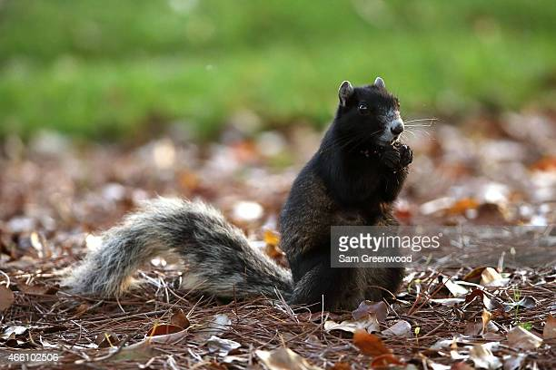 A fox squirrel sits near the course during the second round of the Valspar Championship at Innisbrook Resort Copperhead Course on March 13 2015 in...