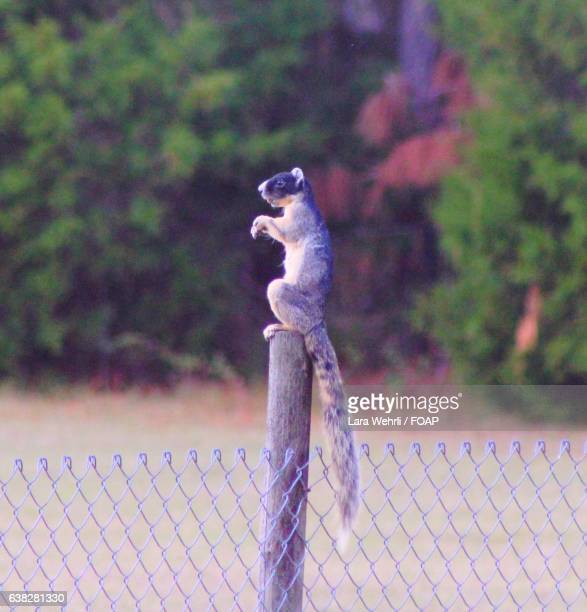 Fox squirrel sitting on wooden post