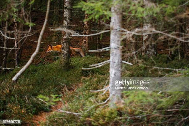 fox stalking - animales cazando fotografías e imágenes de stock