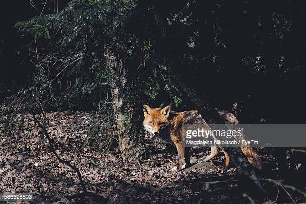 Fox Standing By Trees In Forest