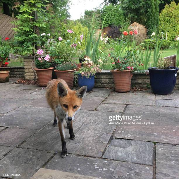 fox standing in yard - ana fox stock pictures, royalty-free photos & images