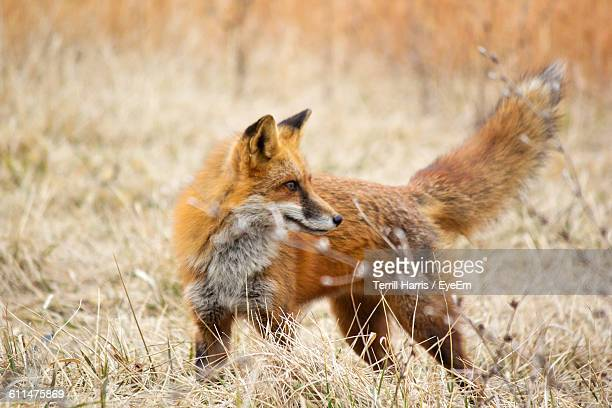 Fox Standing On Field At Forest