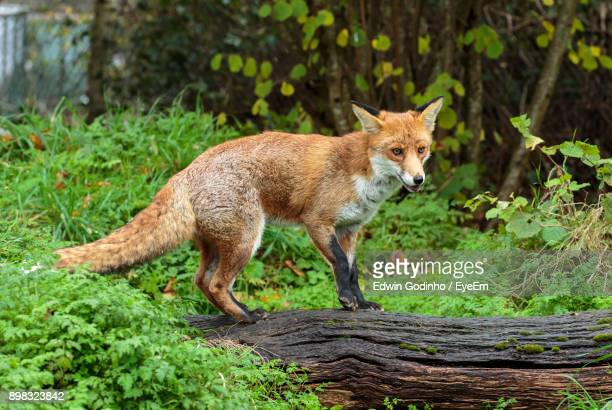 fox standing on wood - fox stock pictures, royalty-free photos & images