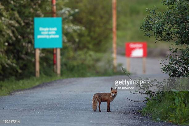 Fox stands in the entrance of 'Thurrock Thameside Nature Park' on June 6, 2013 in Thurrock, England. The 120 acres of grass, bramble and shrub that...