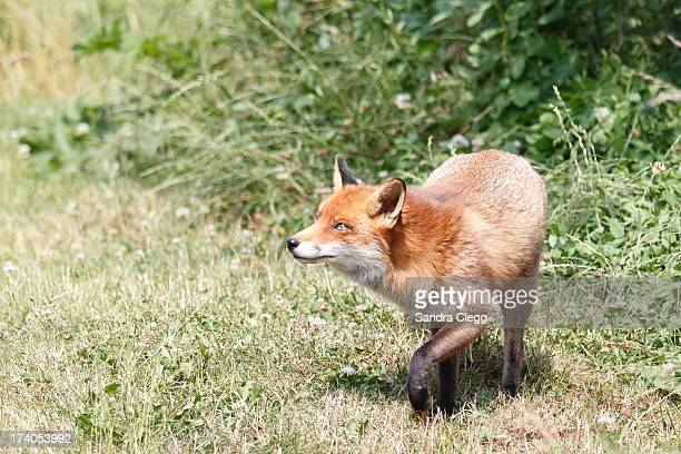fox stepping out in to the sun - fuchspfote stock-fotos und bilder